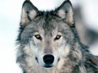 О выходе волков в населенные пункты.